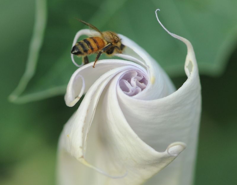 Honeybee on datura