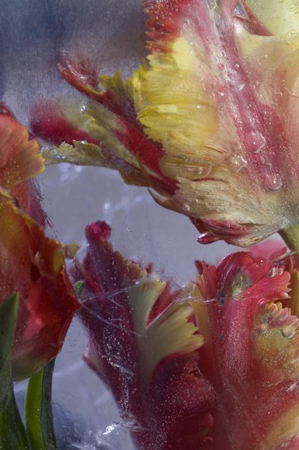 Frozen parrot tulips