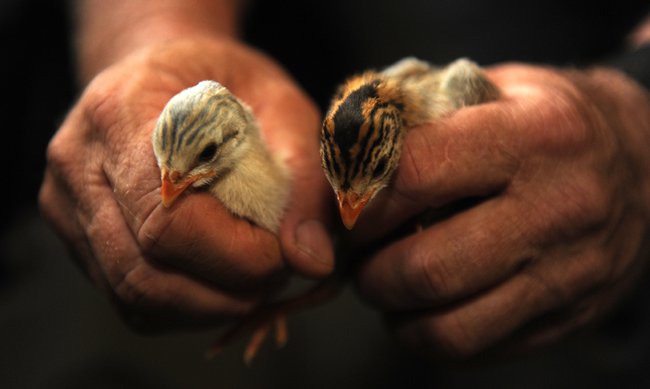 Baby guineas 6 days old