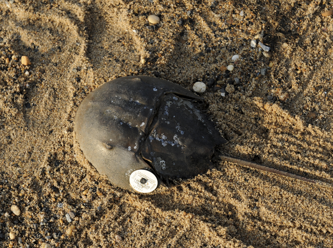 Horseshoe crab tagged