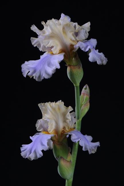 Iris 'Little John'