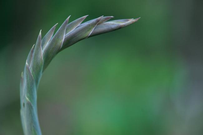 Flower stalk on mini gladiolus