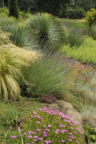Yucca and lavender at Chanticleer