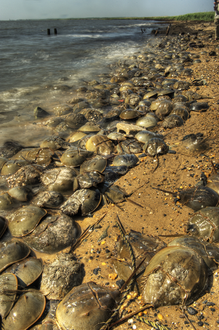 Horseshoe crabs hdr
