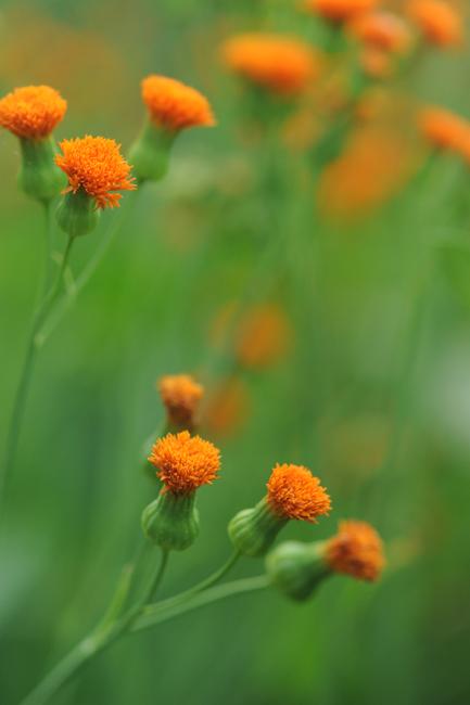 Emilia orange