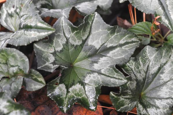 Cyclamen hederfolium