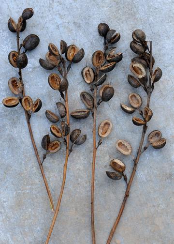 Baptisia Seeds