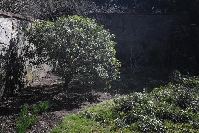 Pruning osmanthus