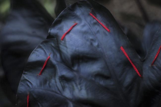 Colocasia 'Hilo Bay' with stitches