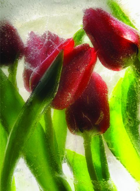 Frozen tulips for Aldie