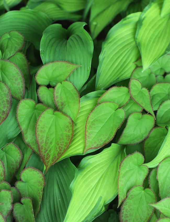 Epimedium and hosta leaves cropped