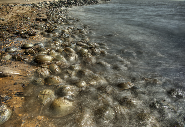 Horseshoe crabs lots hdr