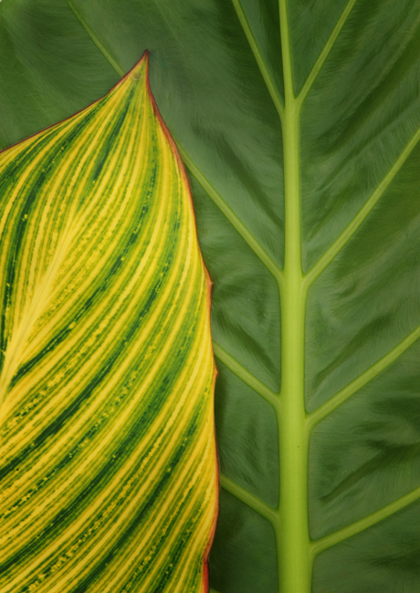 Colocasia with Canna 'Bengal Tiger'
