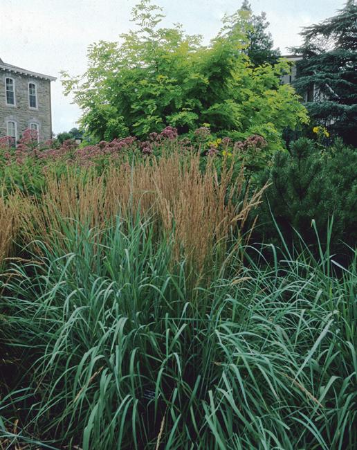 Calamagrostis with eupatori