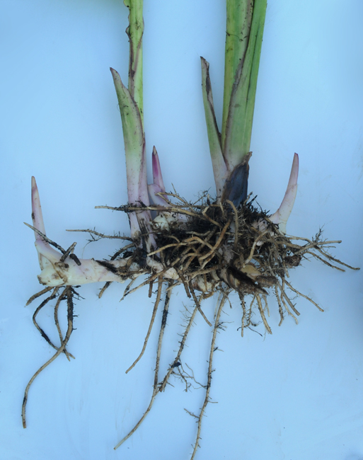 Canna rhizome bare root longer