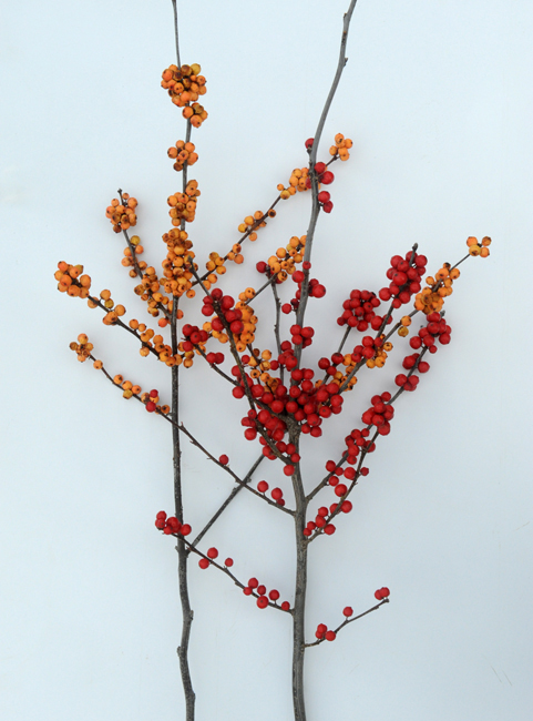 Ilex verticillata 'Sparkleberry' and 'Winter Gold'