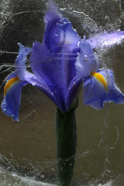 Frozen blue iris 3