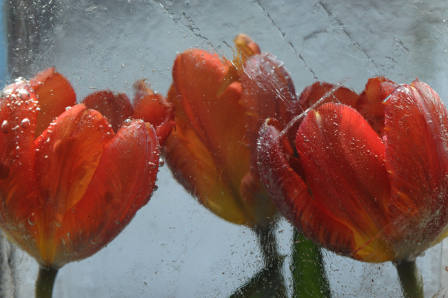 Frozen red parrot tulips