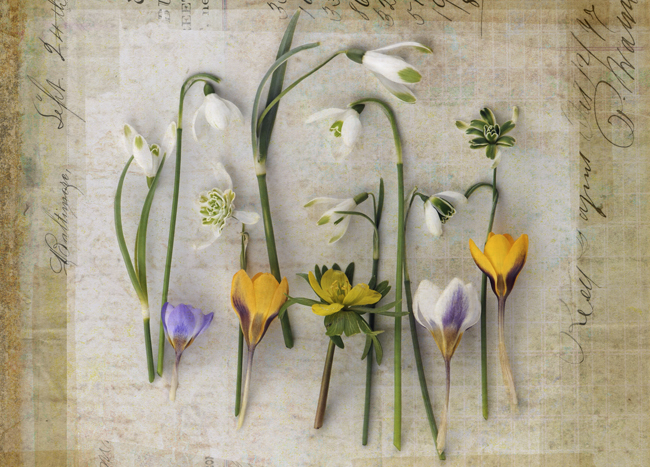 Spring snowdrops with layers