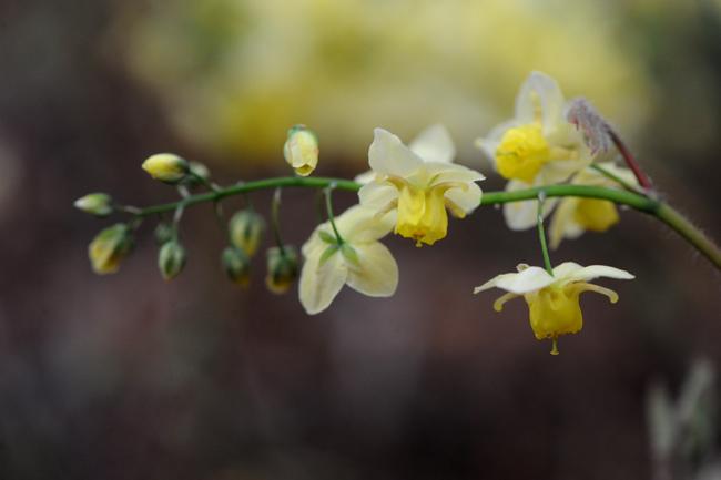 Epimedium x versicolor sulphureum 1