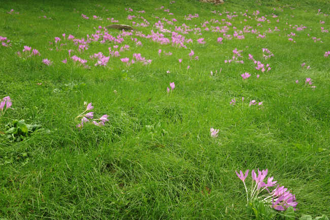 Colchicums in lawn