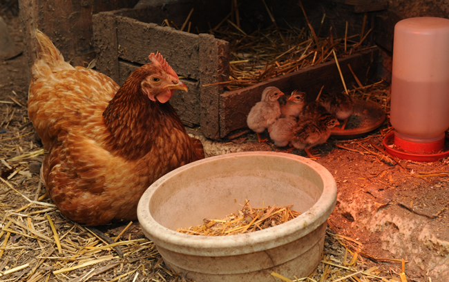 Chicken with guinea babies 1