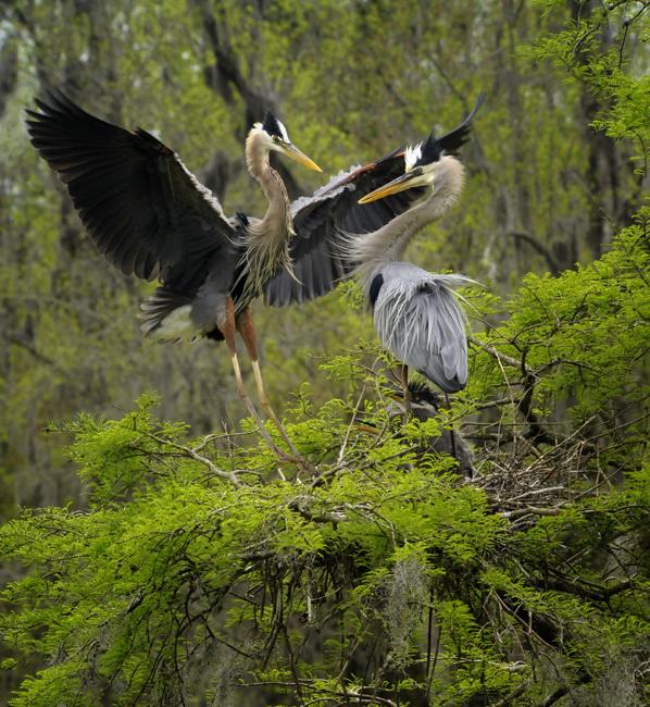 Nesting herons at Magnolia gardens