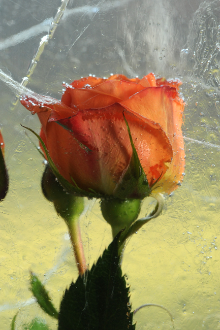 Frozen orange rose 1