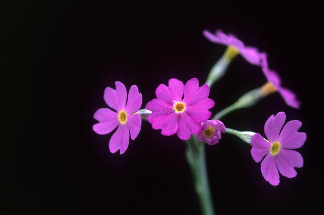 Primula frondosa1