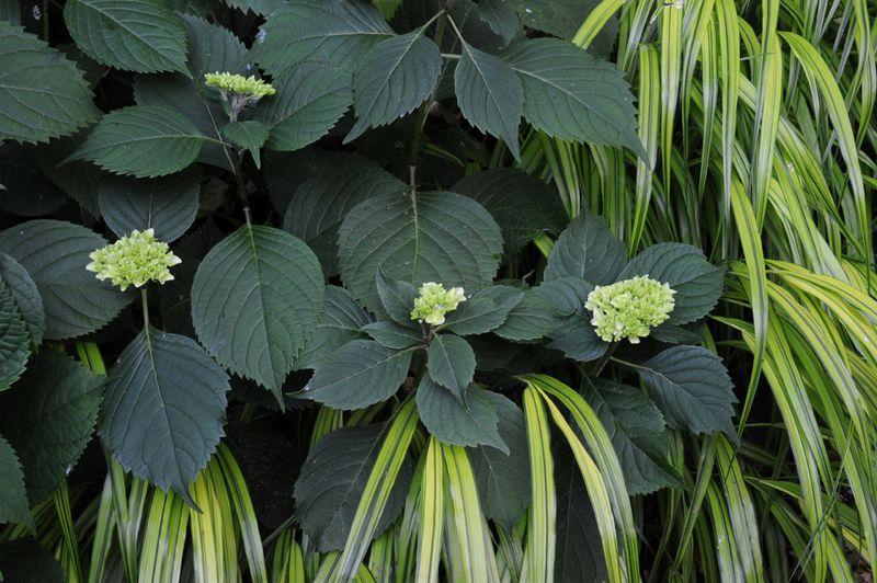 Mophead hydrangea with hakonechloa
