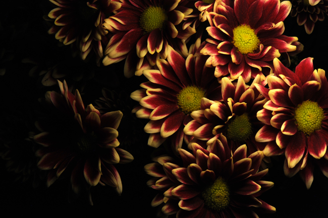 Chrysanthemum light painting