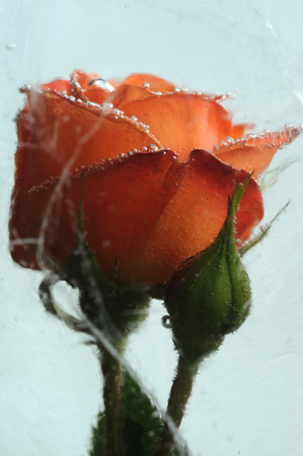 Frozen orange rose 4