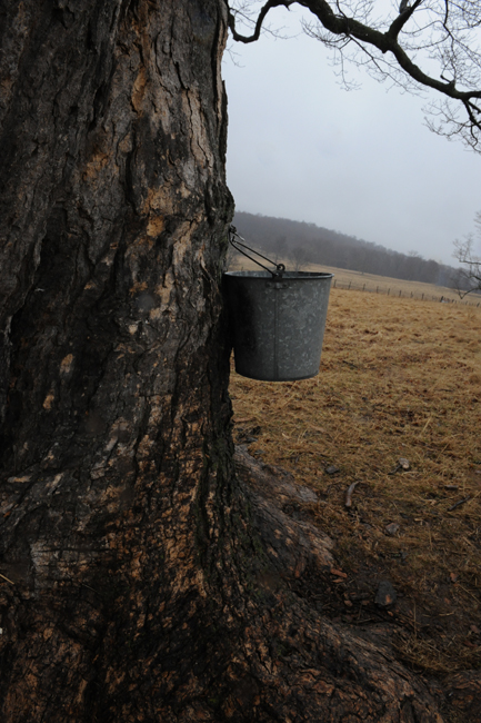 Bucket in maple tree 1