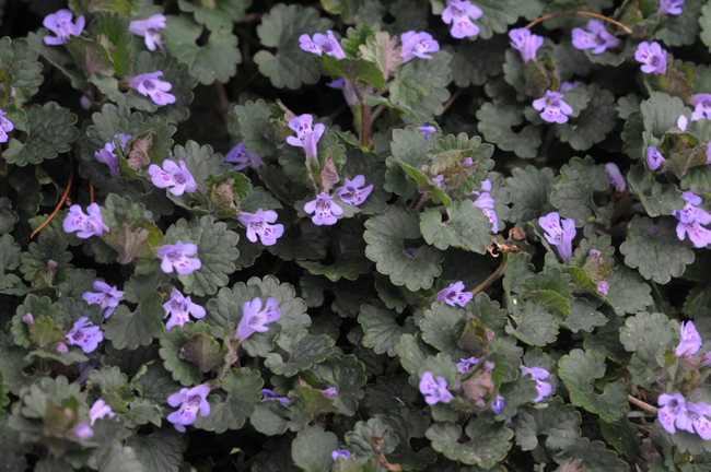 Ground ivy or Glechoma hederacea