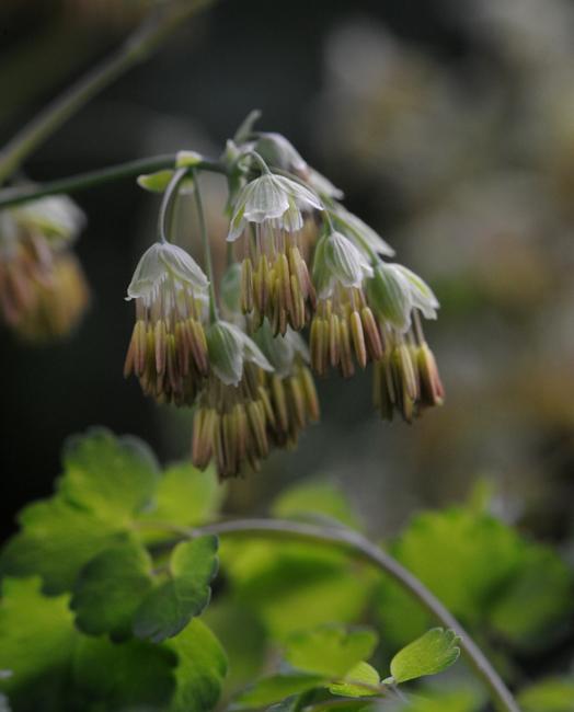 Thalictrum dioicum female flower