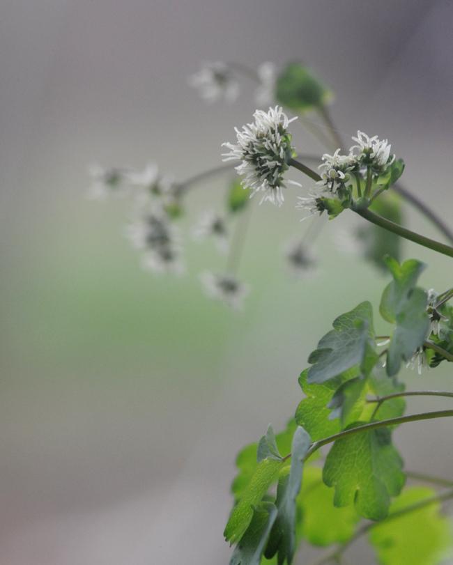 Thalictrum dioicum male flowers