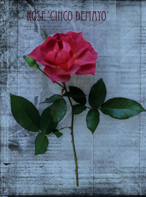 Rose 'Cinco De Mayo'