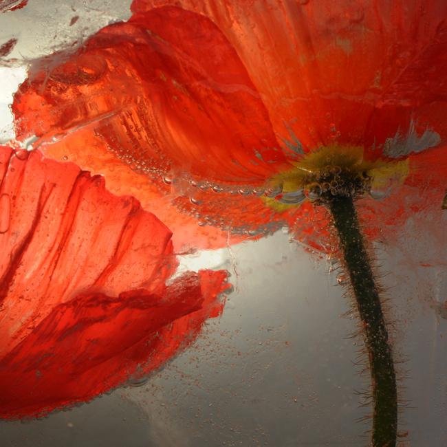 Frozen orange poppy