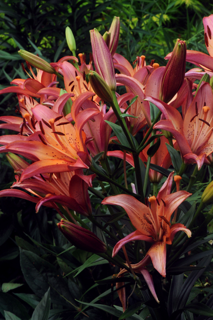 Lilium 'Royal Sunset'