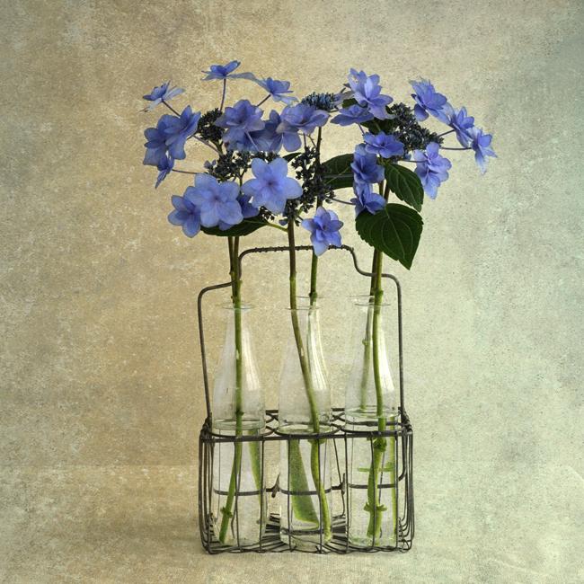 Hydrangea 'Toyko Delight'