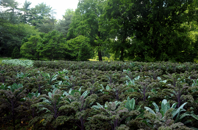 Rows of kale at Chanticleer 1