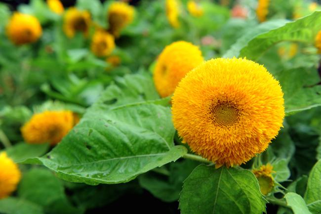 Teddy Bear sunflowers 1