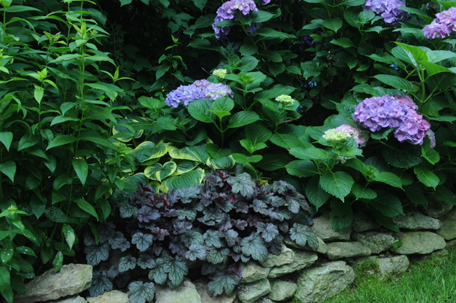 Purple leafed heuchera with hydrangea