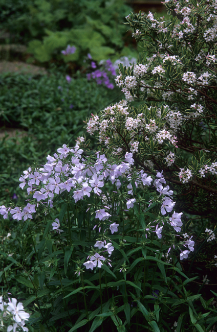 Daphne 'Carol Macke' with phlox vertical