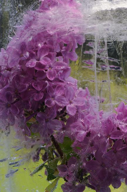 Frozen lilac 1