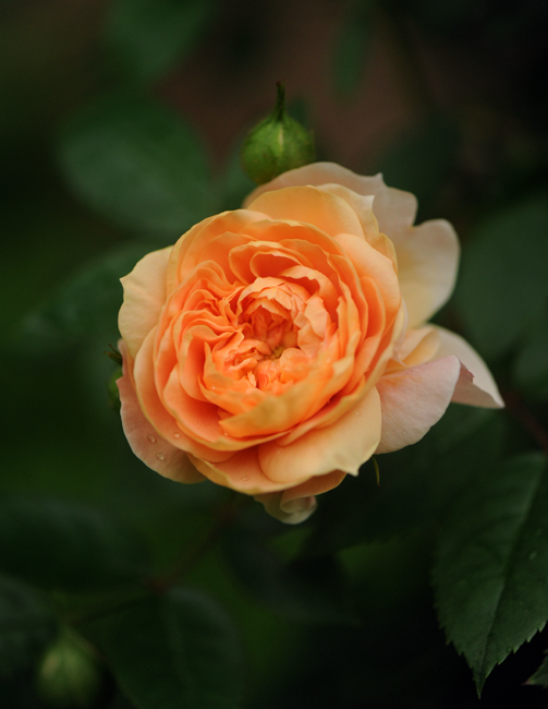 Climbing rose 'Colette'
