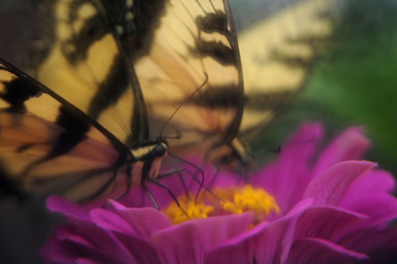 Swallowtails on zinnia