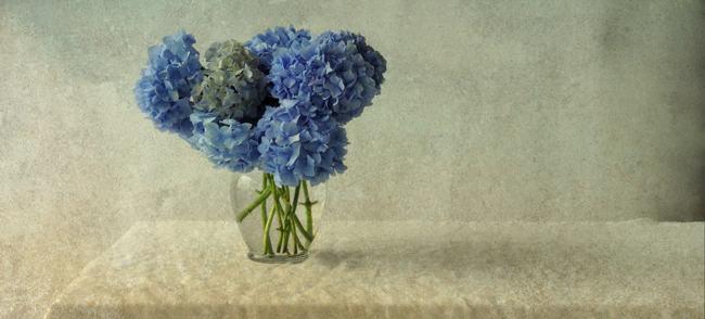 Still life of blue hydrangeas