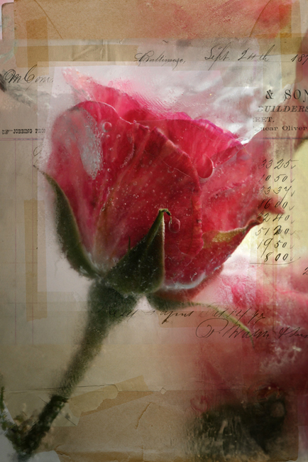 Frozen rose with torn 1 paper