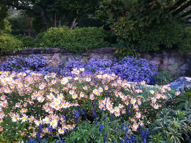 Chrysanthemum 'Sheffield' with Aster 'Raydon's Favorite'